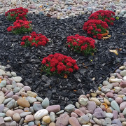 Heart Ground Cover